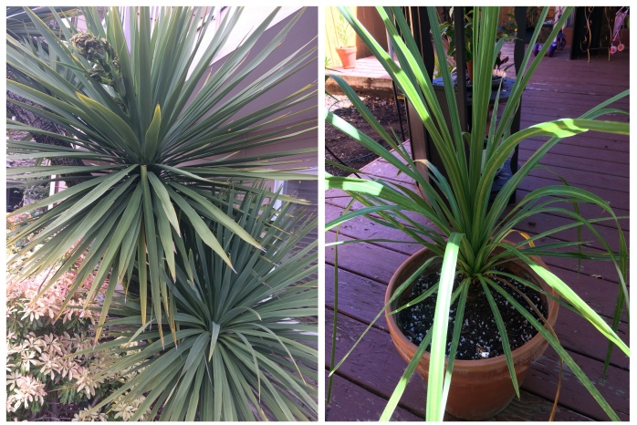 cordyline_comparison